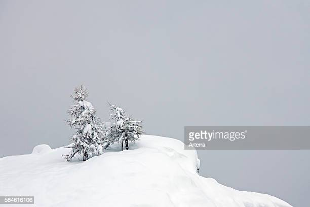 European larch trees in the snow in winter, Gran Paradiso National Park, Valle d'Aosta, Italy.