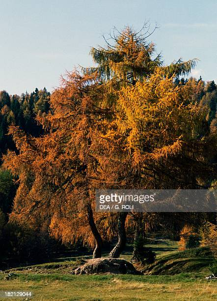 European Larch trees Pinaceae TrentinoAlto Adige Italy