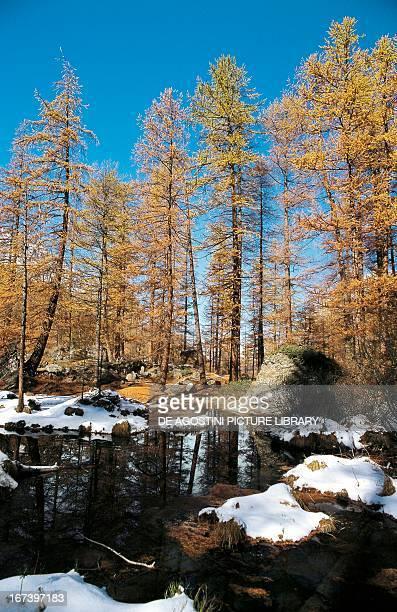 European larch wood in winter Rhemes Valley Valle d'Aosta region Italy