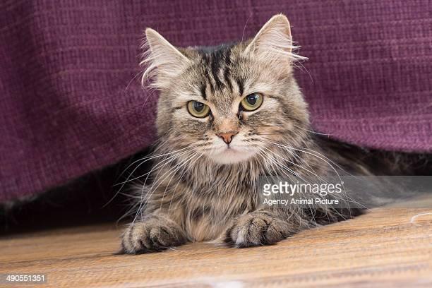 European longhair cat