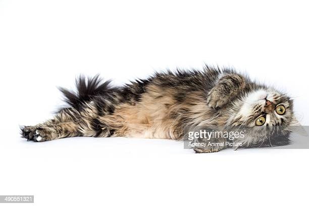european longhair - lying on back stock pictures, royalty-free photos & images