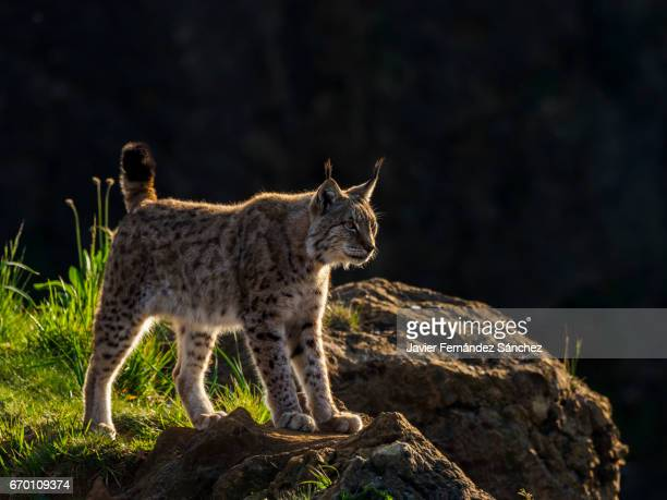 a european lynx (lynx lynx) guarding on a rock, and cut out against the backlight on a dark background. - lynx stock photos and pictures