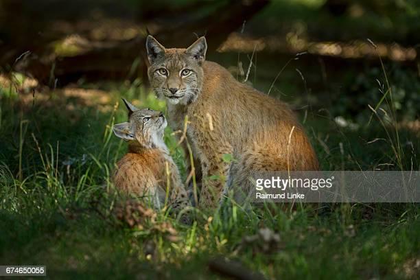 European Lynx, Lynx Lynx, Female with Kitten