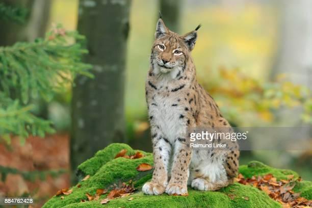 european lynx; lynx lynx, germany, europe - lynx photos et images de collection