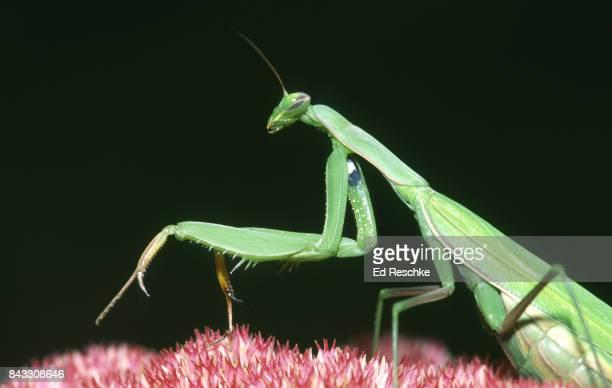 european mantis (mantis religiosa) an opportunistic predator on sedum - ed reschke photography stock photos and pictures