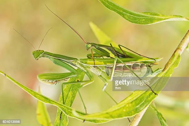 european mantis - insect couple on a plant - accoppiamento animale foto e immagini stock
