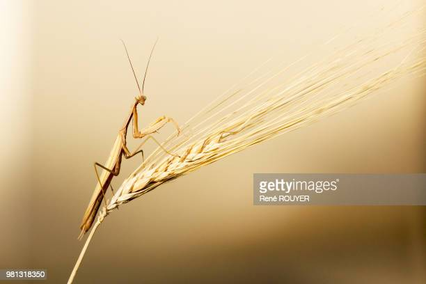 european mantis (mantis religiosa) sitting on wheat - insetto foto e immagini stock