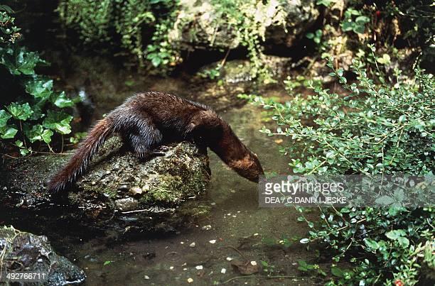 European mink or Russian mink , Mustelidae.