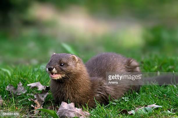European mink portrait, Germany.