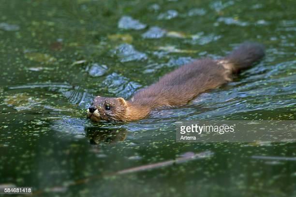 European mink swimming, Germany.