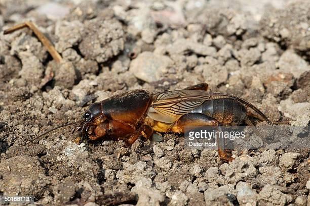 european mole cricket -gryllotalpa gryllotalpa-, allgau, bavaria, germany - mole cricket stock pictures, royalty-free photos & images