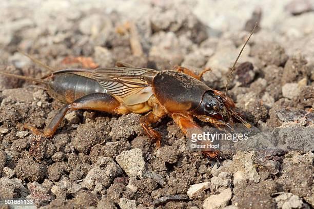 european mole cricket -gryllotalpa gryllotalpa-, cleans one of its long feelers, allgau, bavaria, germany - mole cricket stock pictures, royalty-free photos & images