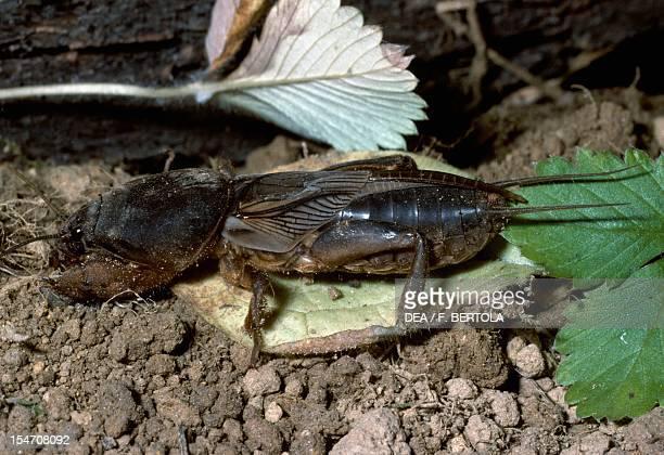 European mole cricket Gryllotalpidae