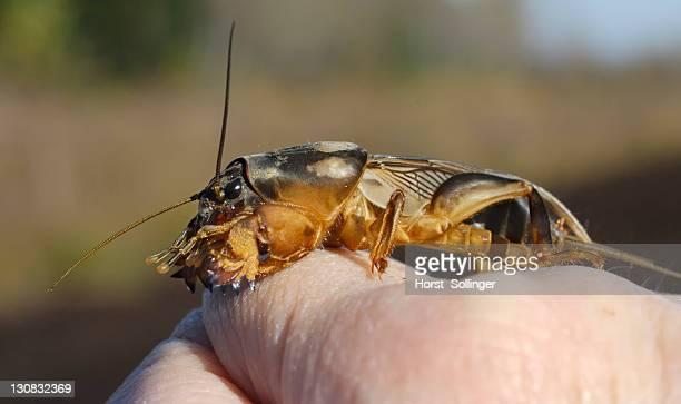 european mole cricket (gryllotalpa gryllotalpa) on a child's hand - mole cricket stock pictures, royalty-free photos & images