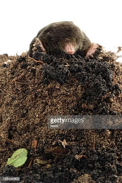 Europäische Mole (schwarze europaea) auf einem Molehill