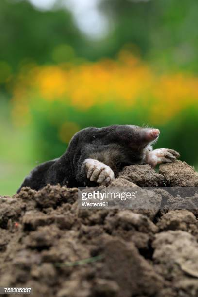 European Mole on mole hill