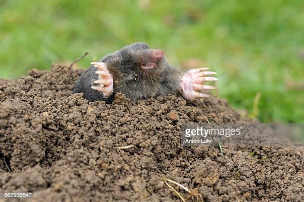 European Mole -Talpa europaea-