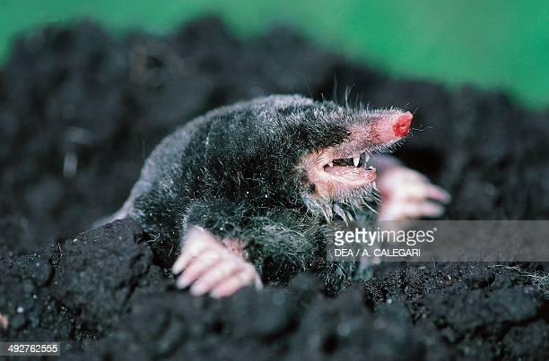 European mole Talpidae