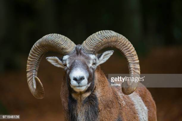 European mouflon close up portrait of ram with big horns in forest in autumn