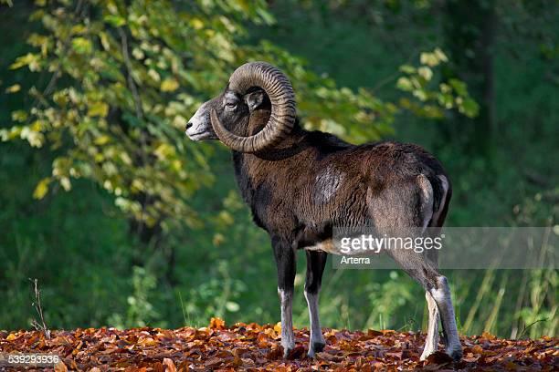 European mouflon ram in forest in autumn Germany
