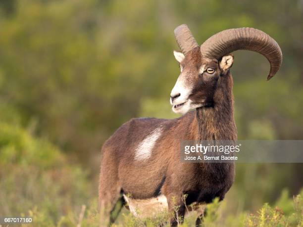 european mouflon (ovis orientalis musimon), spain - arbusto stock pictures, royalty-free photos & images