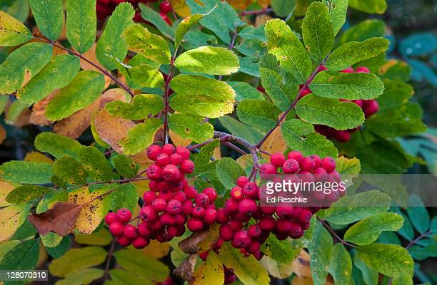 European Mountain Ash (Sorbus aucuparia), Fruit like small apples with bright red skin, Native of Eurasia, introduced in colonial times, Mount Rainier National Park, Washington, USA