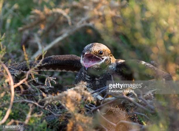 European Nightjar Caprimulgus europaeus at nest in threat display towards advancing Adder North Norfolk