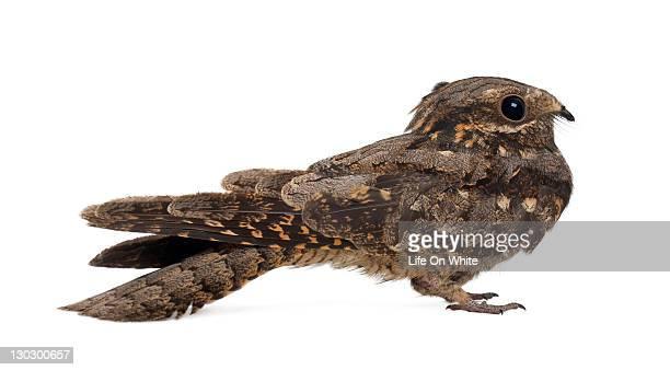 european nightjar - caprimulgus europaeus - nightjar stock photos and pictures
