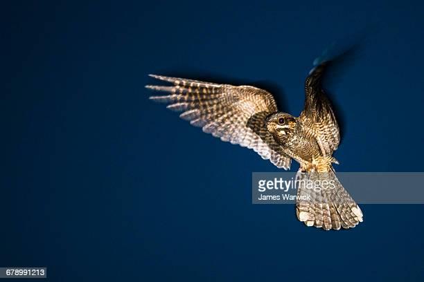european nightjar in flight at dusk - nightjar stock photos and pictures