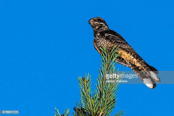 european nightjar on scots pine at dusk - nightjar stock photos and pictures
