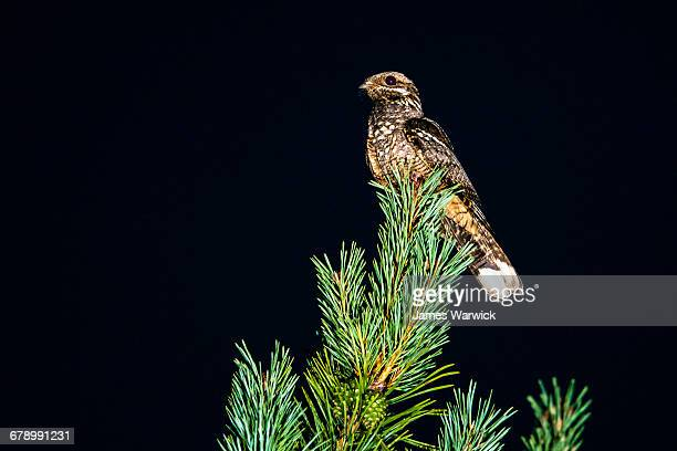 european nightjar on scots pine at night - nightjar stock photos and pictures
