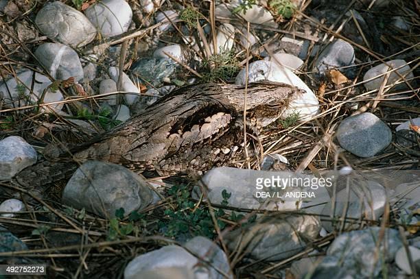 European nightjar or Nightjar Caprimulgidae