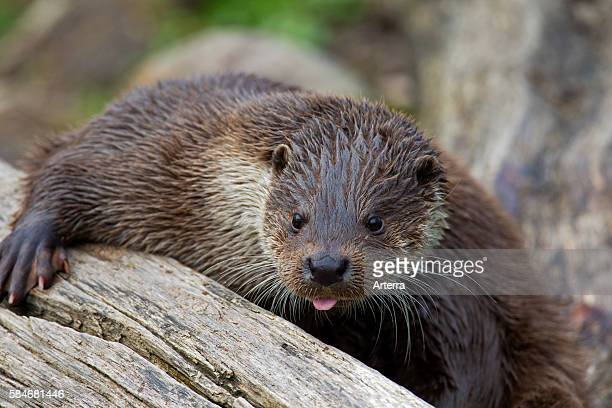 European otter closeup portrait Germany