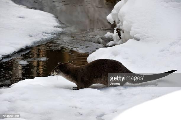 European otter / Eurasian river otter on ice of frozen river bank in the snow in winter Bavarian Forest National Park Germany