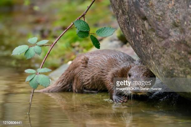 european otter (lutra lutra), female sitting on stone on the bank of a pond, captive, switzerland - flussufer stock-fotos und bilder