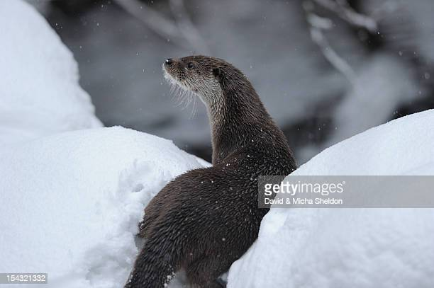 european otter (lutra lutra) in snow - river otter stock pictures, royalty-free photos & images