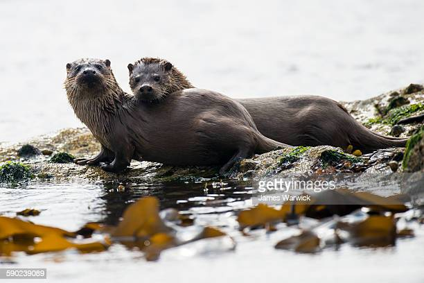 european otter mother with cub on shoreline rocks - animals in the wild stock pictures, royalty-free photos & images