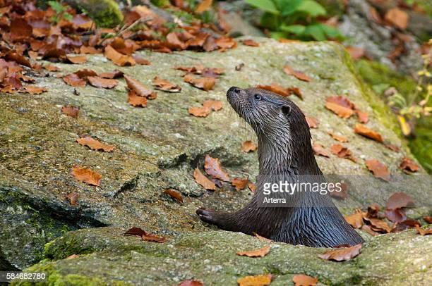 European otter on riverbank