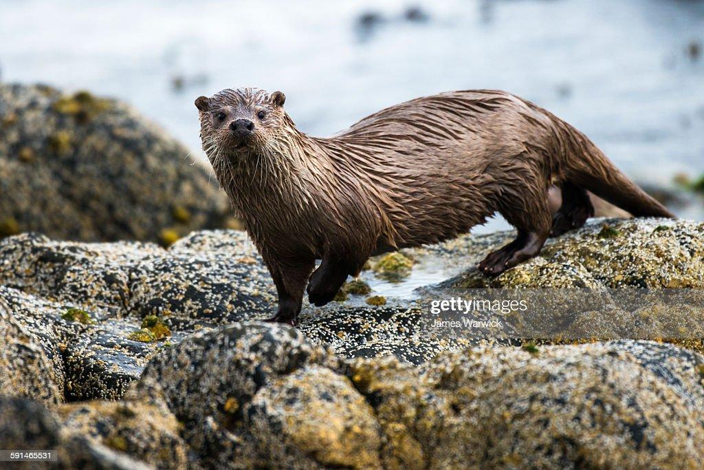 European otter on shoreline rocks : Stock Photo
