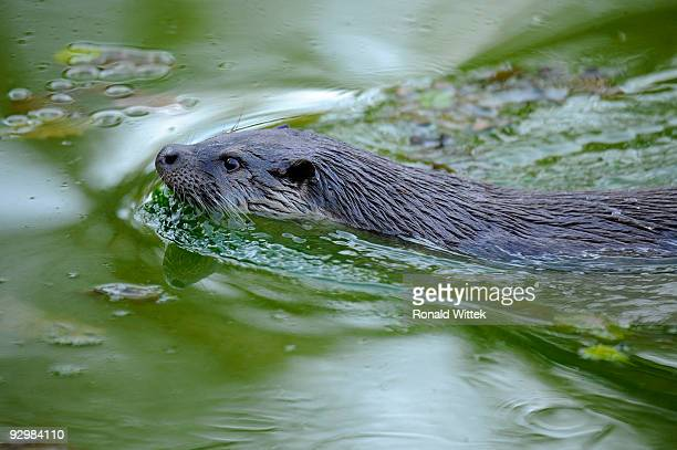 european otter - river otter stock pictures, royalty-free photos & images