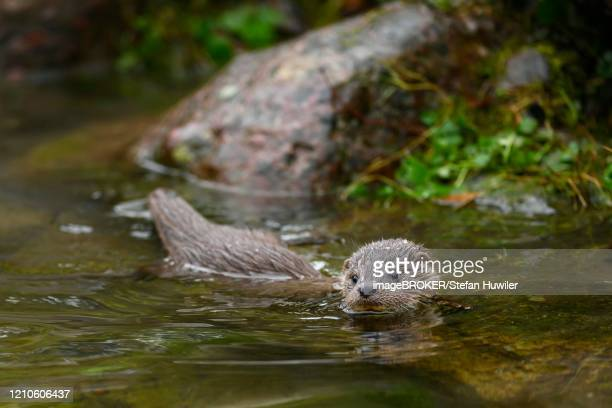 european otter (lutra lutra), young animal swimming in a pond, captive, switzerland - flussufer stock-fotos und bilder