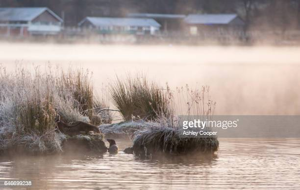 European Otters, Lutra lutra on Lake Windermere at dawn, Ambleside, Lake District, UK.