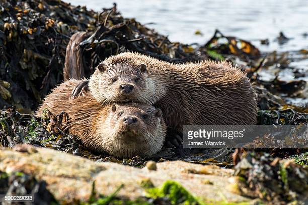 european otters resting at shoreline - isole shetland foto e immagini stock