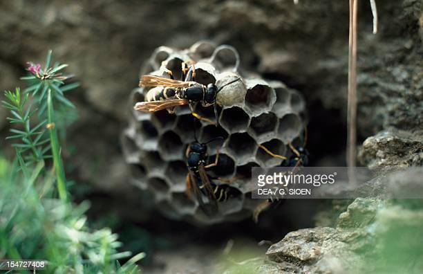 European paper wasp nest Vespidae