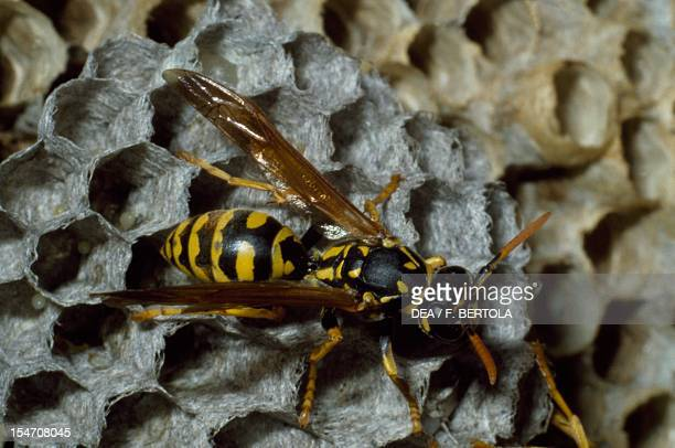 European paper wasp on a honeycomb, Vespidae.