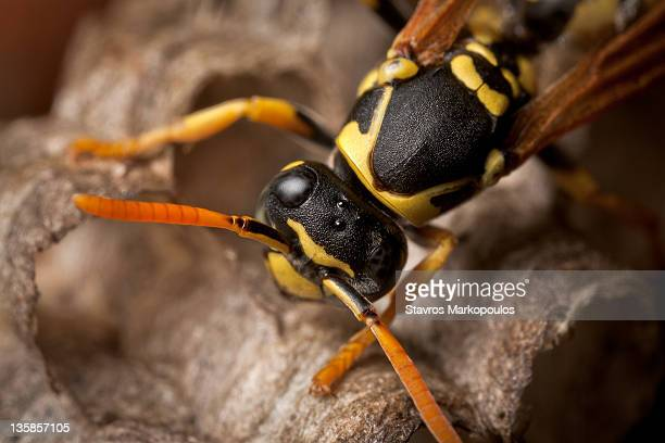 european paper wasp - paper wasp stock pictures, royalty-free photos & images