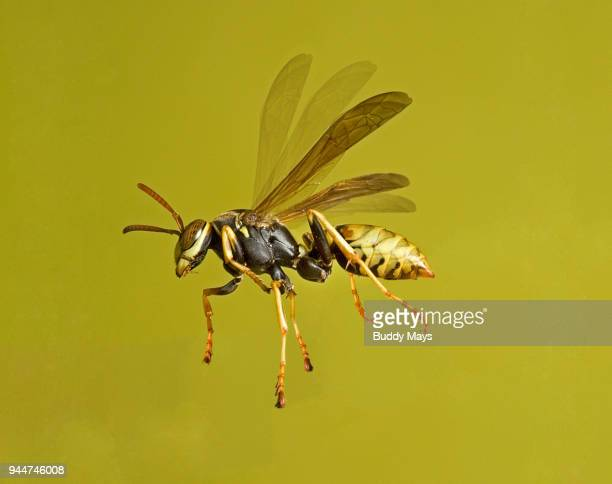 a european paper wasp, polistes dominula, in flight - paper wasp stock pictures, royalty-free photos & images