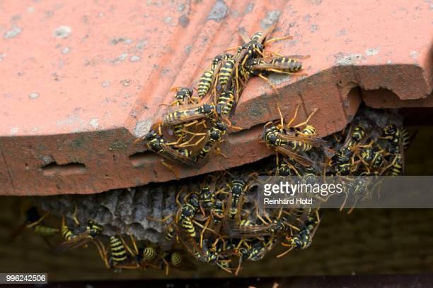European paper wasps (Polistes dominula) at nest, Burgenland, Austria