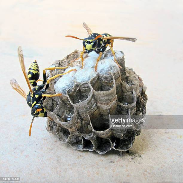 how to kill european paper wasps