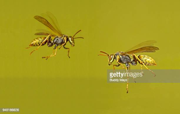 European paper wasps, Polistes dominula, in flight